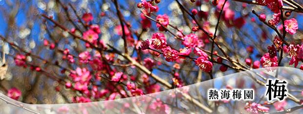 Atami Baien plum